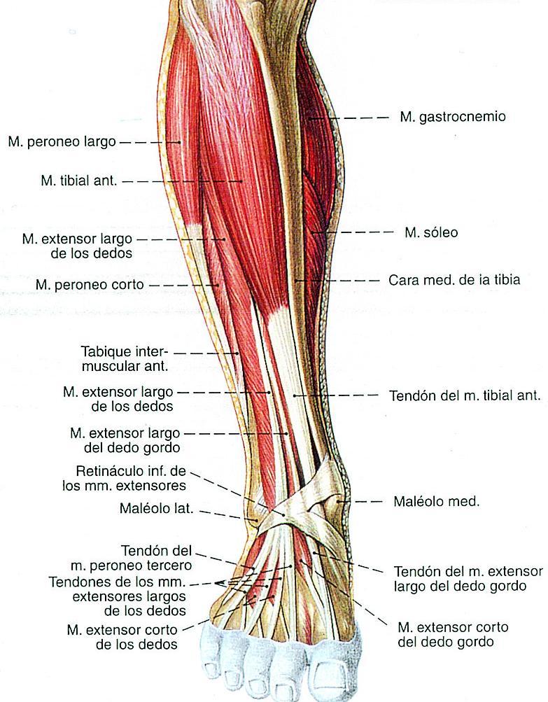 Increíble Músculos Y Tendones De La Rodilla Festooning - Anatomía de ...